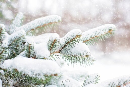 snow-in-pine-tree-1265119_1920