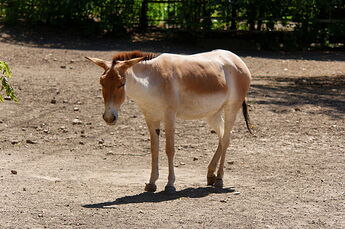 Rostov-on-Don_Zoo_Persian_onager_IMG_5268_1725