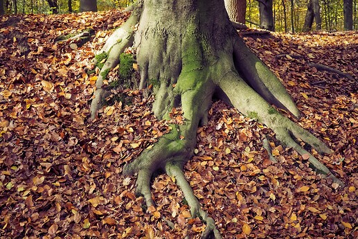 Tree Roots and Red Leaves