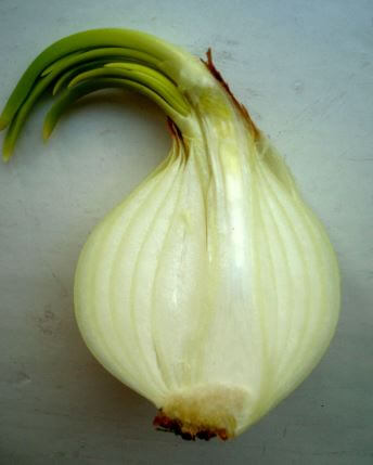 Onion sprout